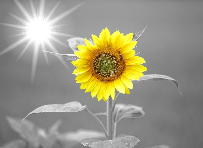 sunflower-972115_960_720